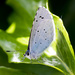 Holly blue by peadar