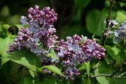 14th May 2019 - Lilacs