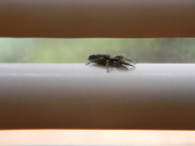 27th May 2019 - Spider on Blinds