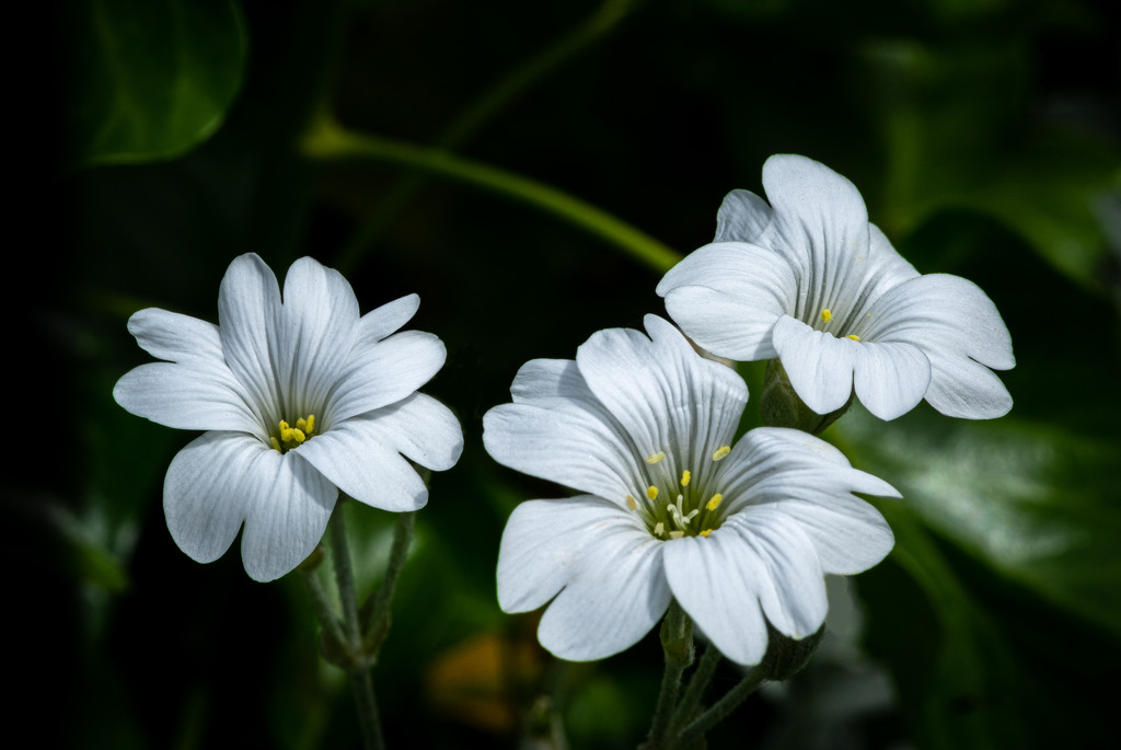 Tiny White Flowers... by vignouse
