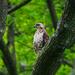 NYC Hawk