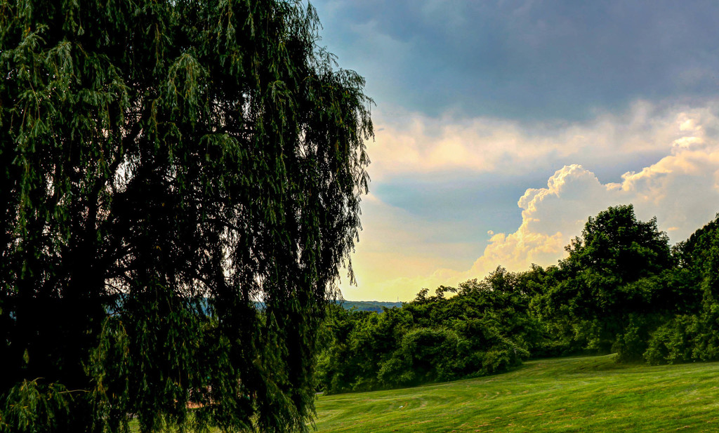 Weeping willow half and half shot by mittens