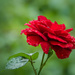 The first rose this year by haskar