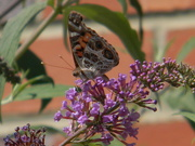 28th May 2019 - Butterfly on Flower Closeup