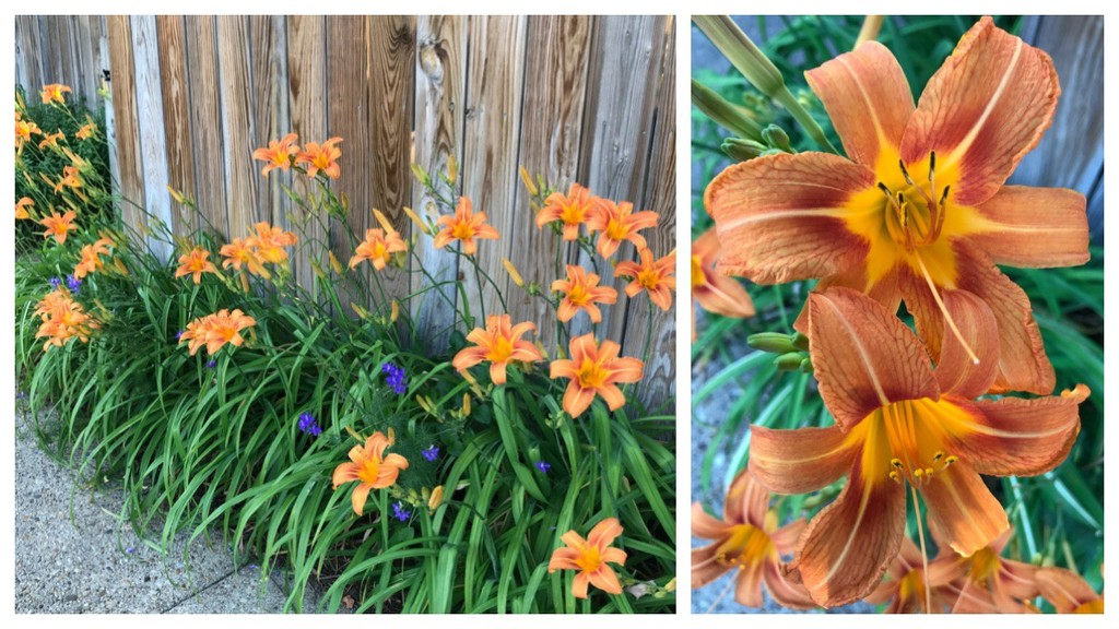 Quite a Day for Day Lilies by allie912