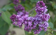 28th May 2019 - Time For Lilacs