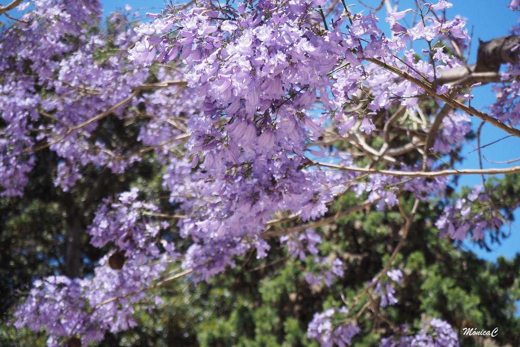 Jacaranda tree by monicac