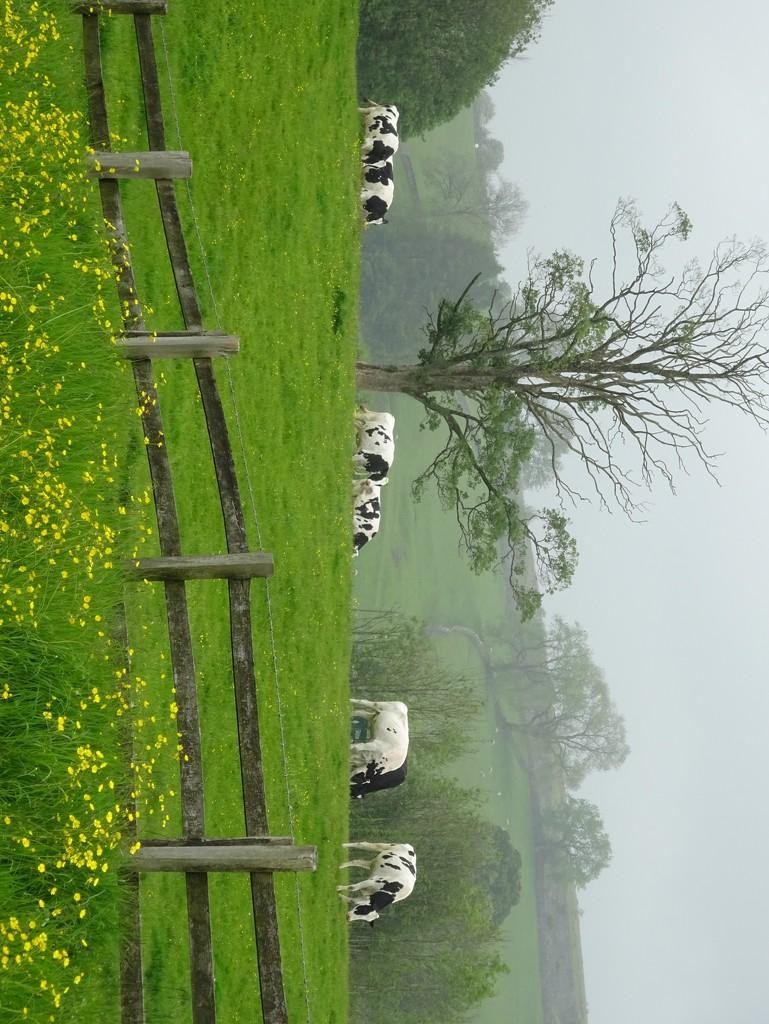 cows by anniesue