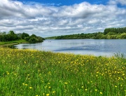 29th May 2019 - Buttercups at Bewl Water Reservoir