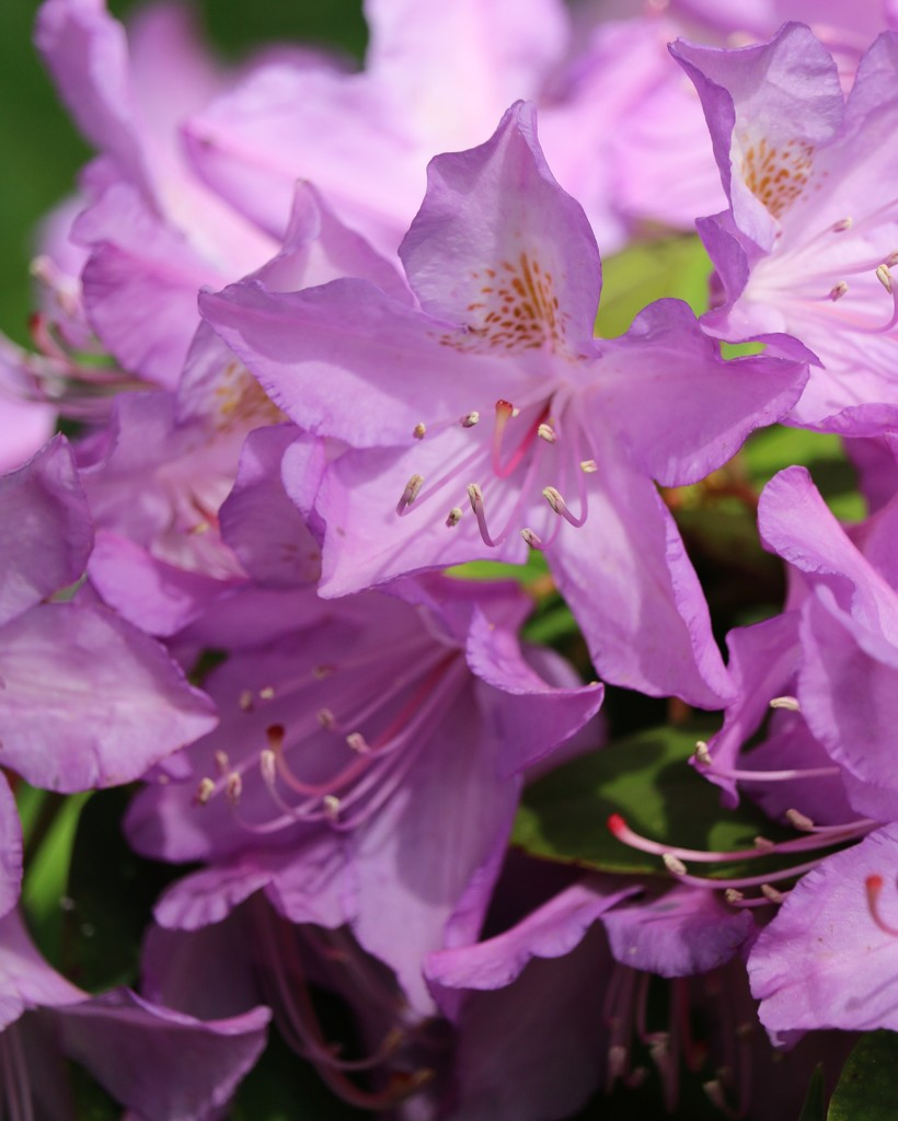 May20: Rhododendron by daisymiller
