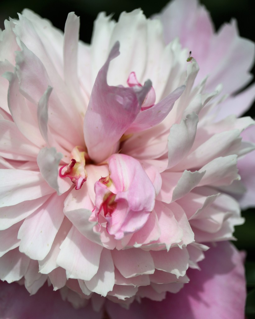 May 21: Peony by daisymiller