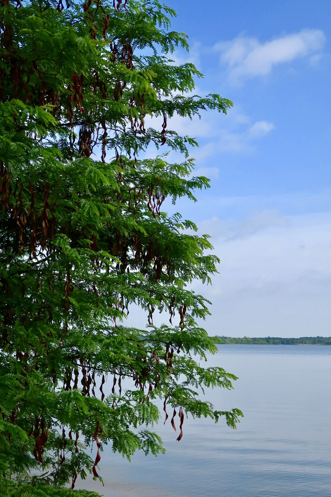 The Honey Locust tree at the lake by louannwarren
