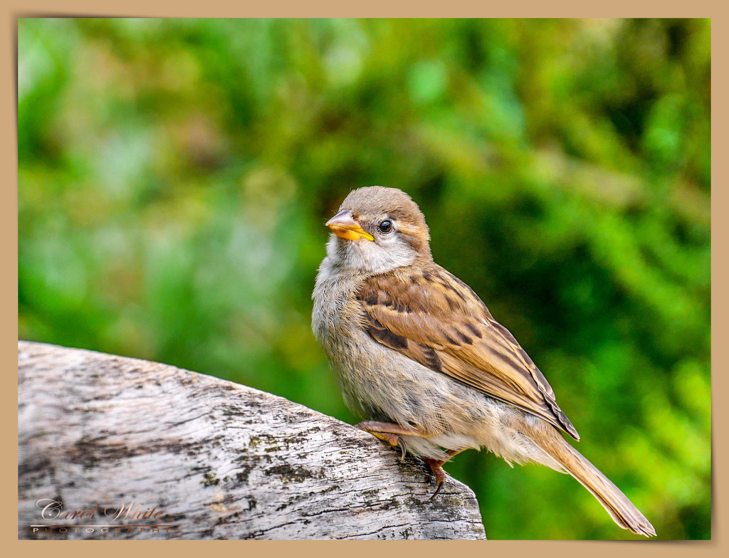 Just A Little Sparrow by carolmw