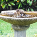 Tina's photo of a young thrush in the birdbath