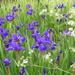 Irises  by snowy