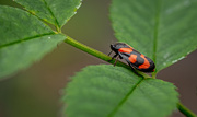 30th May 2019 - Black and Orange Beetle...