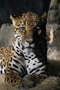 30th May 2019 - Jaguar Portrait