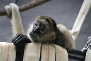 26th May 2019 - Spider Monkey Portrait