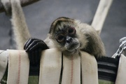 25th May 2019 - Spiider Monkey Relaxing