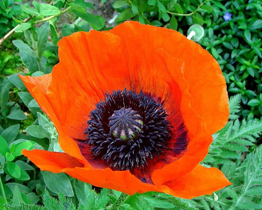 papaver/poppy by gijsje