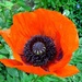 papaver/poppy by gijsje