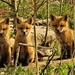 3 Cute Fox Kits by radiogirl