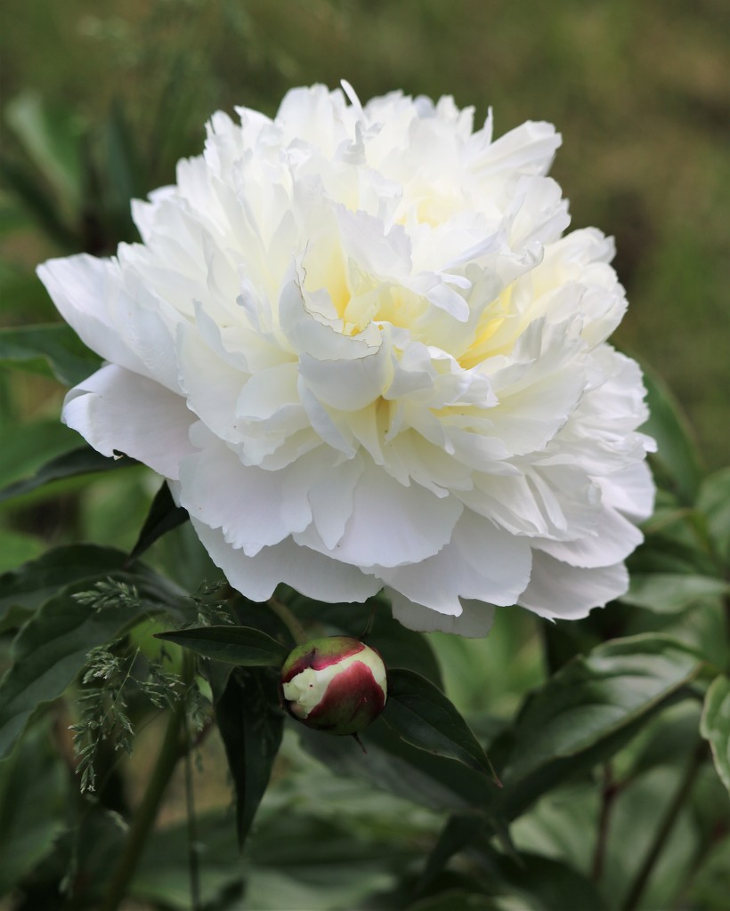 May 28: Peony by daisymiller