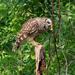 Mama Owl by lynne5477