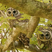 The Baby Barred Owls Checking Me Out! by rickster549