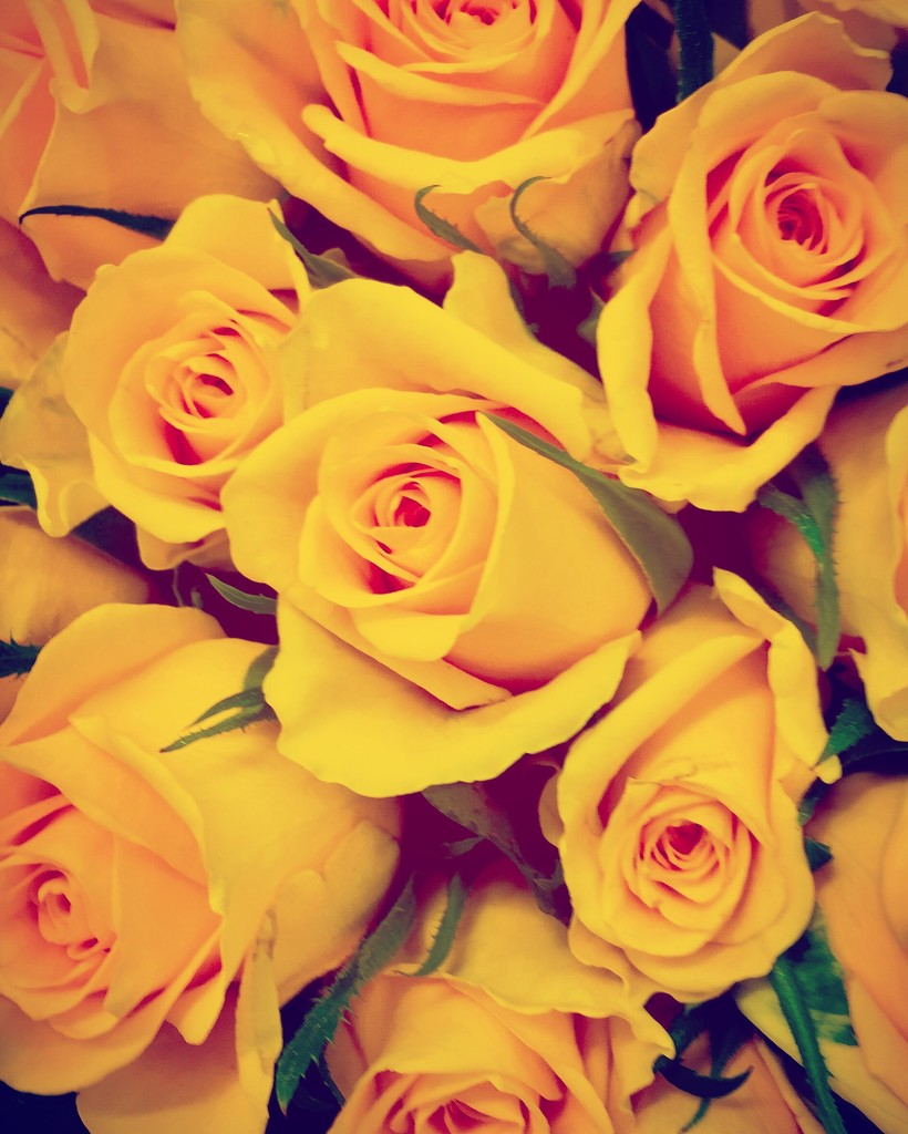 Yellow roses by lilaclisa