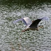 30th May 2019 - Heron in flight