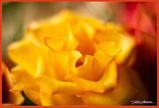 1st Jun 2019 - Golden Rose...