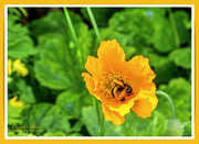 1st Jun 2019 - Bee And Welsh Poppy