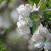 More Apple Blosssoms