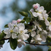Tired of Apple Blossoms Yet?