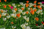 1st Jun 2019 - Tulips