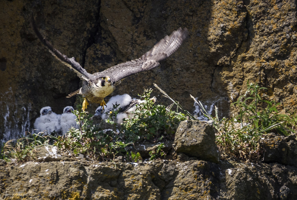 Mom Peregrine Falcon Flying Off After Feeding Babies by jgpittenger