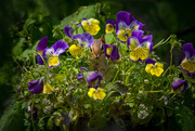1st Jun 2019 - Pretty in the pansies
