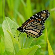 1st Jun 2019 - Monarch butterfly