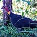 Wild, bush turkey