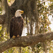 The Bald Eagle Has Arrived! by rickster549