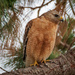 Red Shouldered Hawk Losing the Light