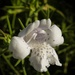 Eremophila flower by judithdeacon