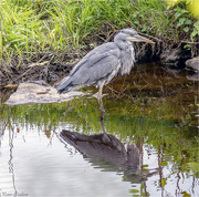 1st Jun 2019 - Grey Heron No2