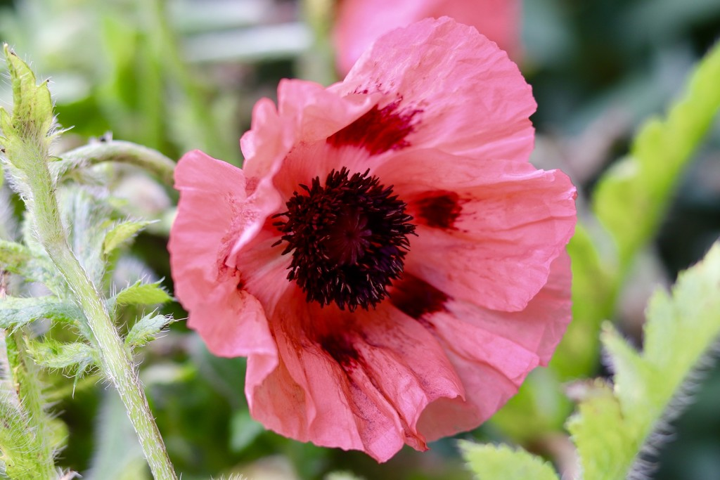 Poppy by carole_sandford
