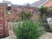 2nd Jun 2019 - Lavender blue dilly dilly, lavender blue....