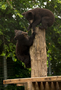 2nd Jun 2019 - Black bear cubs