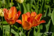 2nd Jun 2019 - Three tulips