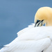 Gannet ~ Bay of St. Mary's NFLD by dridsdale
