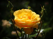2nd Jun 2019 - A rose of/in our garden